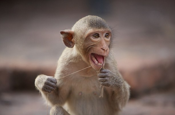 Macaque flossing with human hair